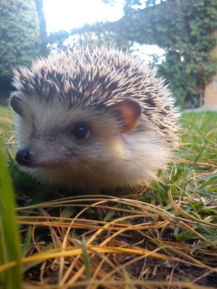 Hedgehogs are ridiculously cute, and they make quiet, peaceful pets that don't take up a lot of room.