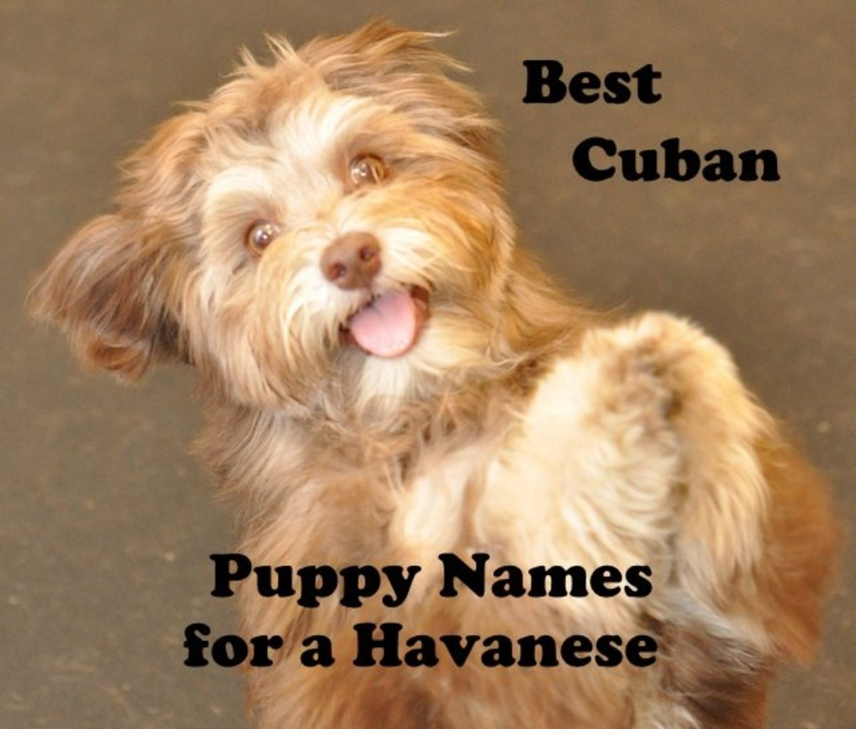 Best Puppy Names for Havanese Dogs