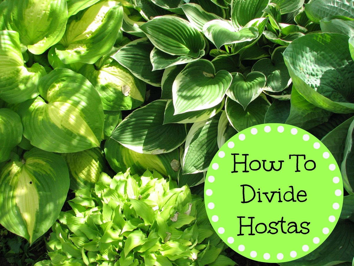 How to divide Hosta plants