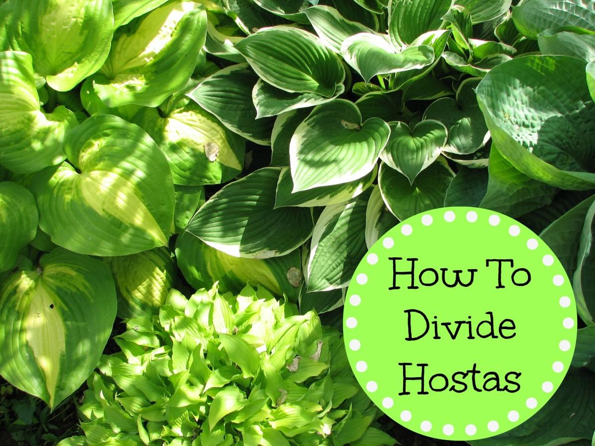 How To Divide Hostas Dengarden