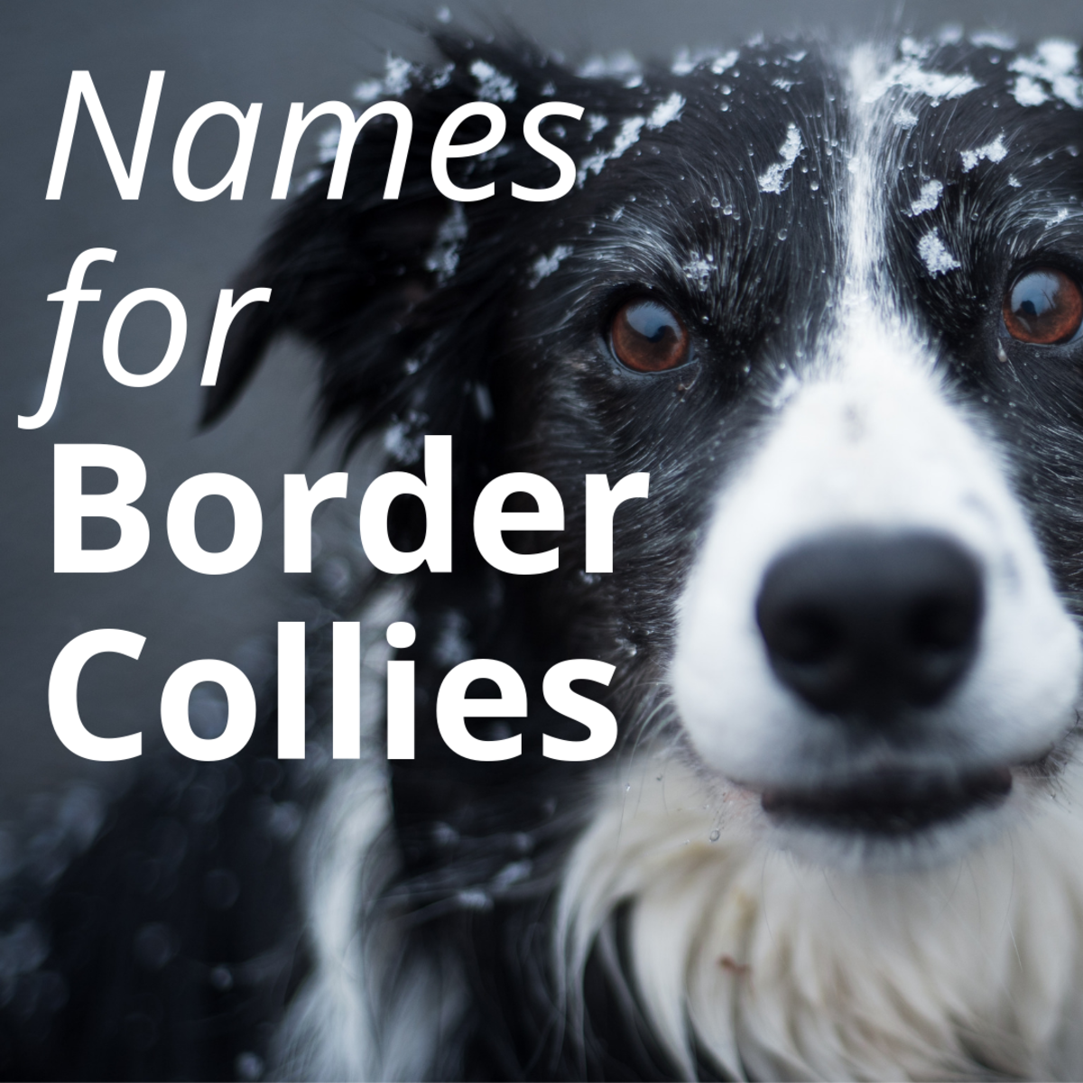 Best Names for a Border Collie