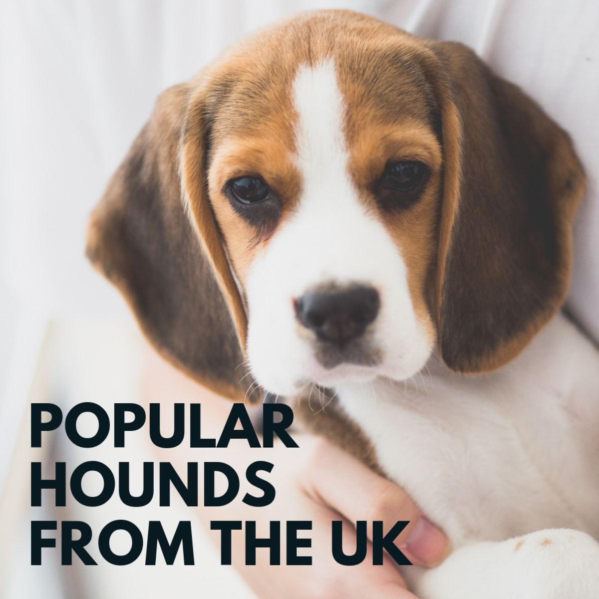 Top 5 Hound Dogs in the UK