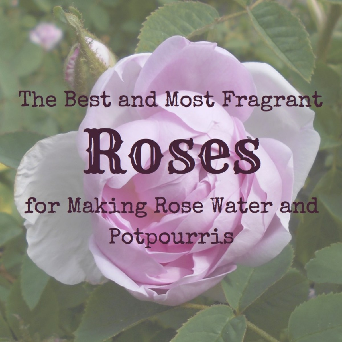 The Best and Most Fragrant Roses for Making Rose Water and Potpourris