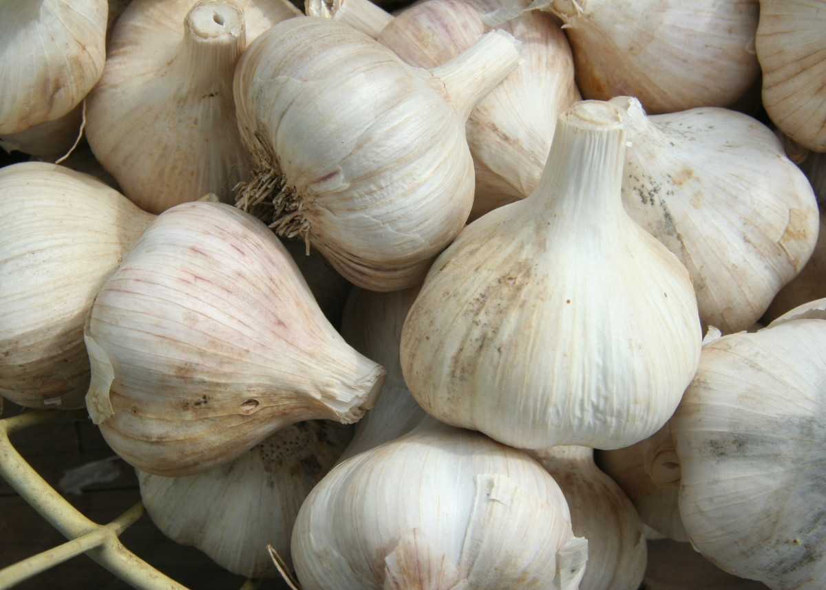 How To Grow Garlic: A Step by Step Guide