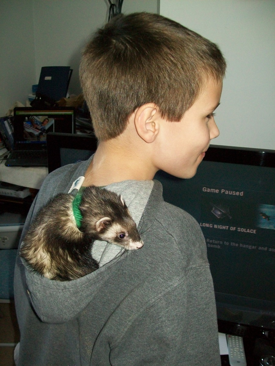 Are Ferrets Hypoallergenic? My Experience Owning Ferrets