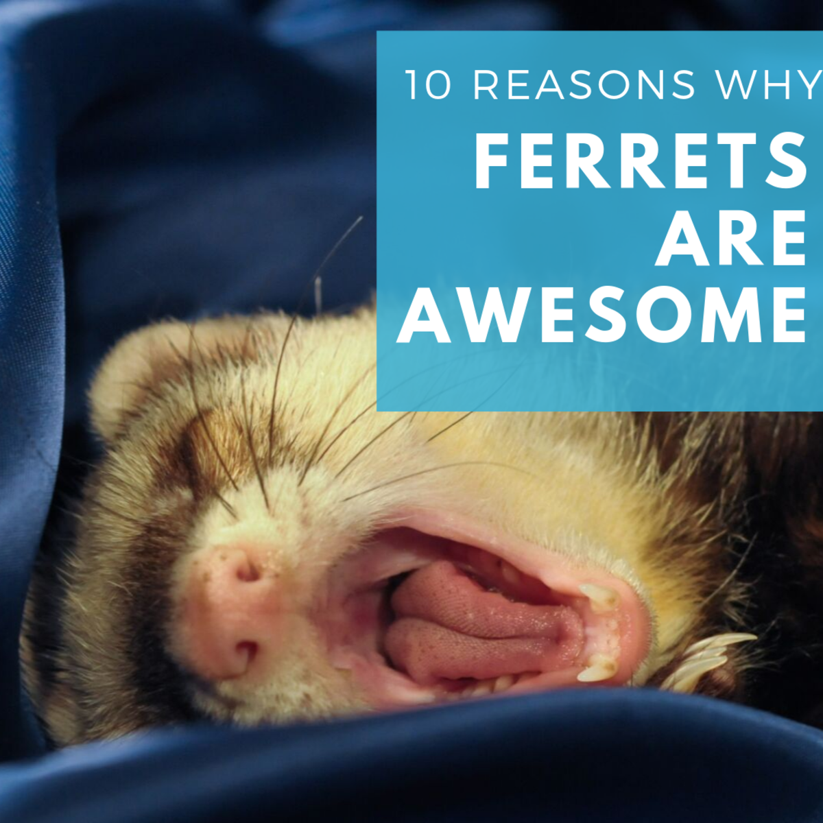 10 Great Reasons to Get a Ferret