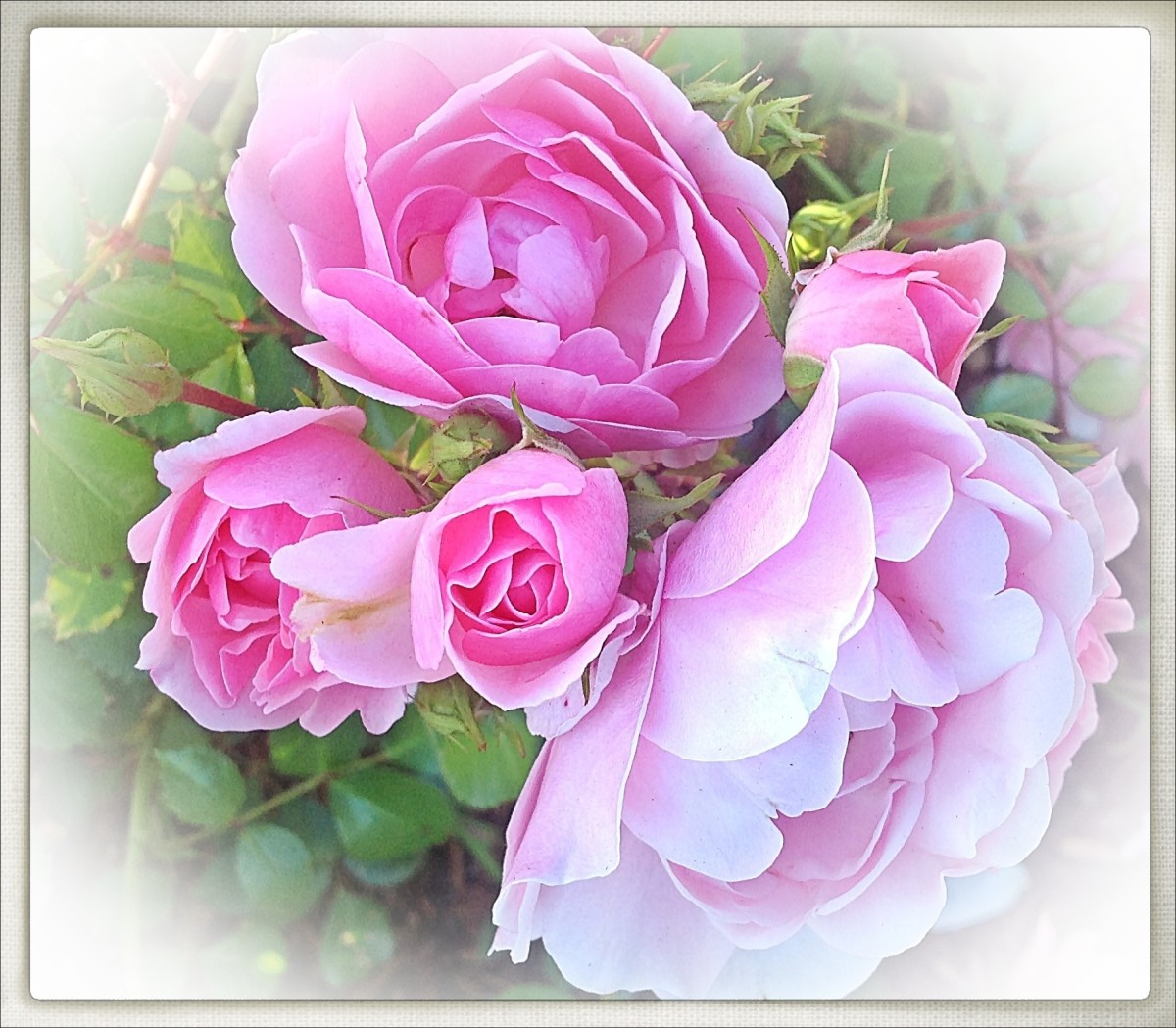 Roses - Flower Facts, Symbolic Meanings and a Poem of Love