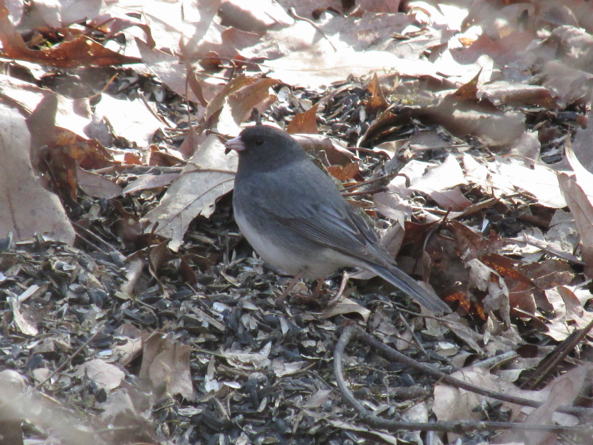 Juncos stay busy all day long foraging for insects and weed seeds.