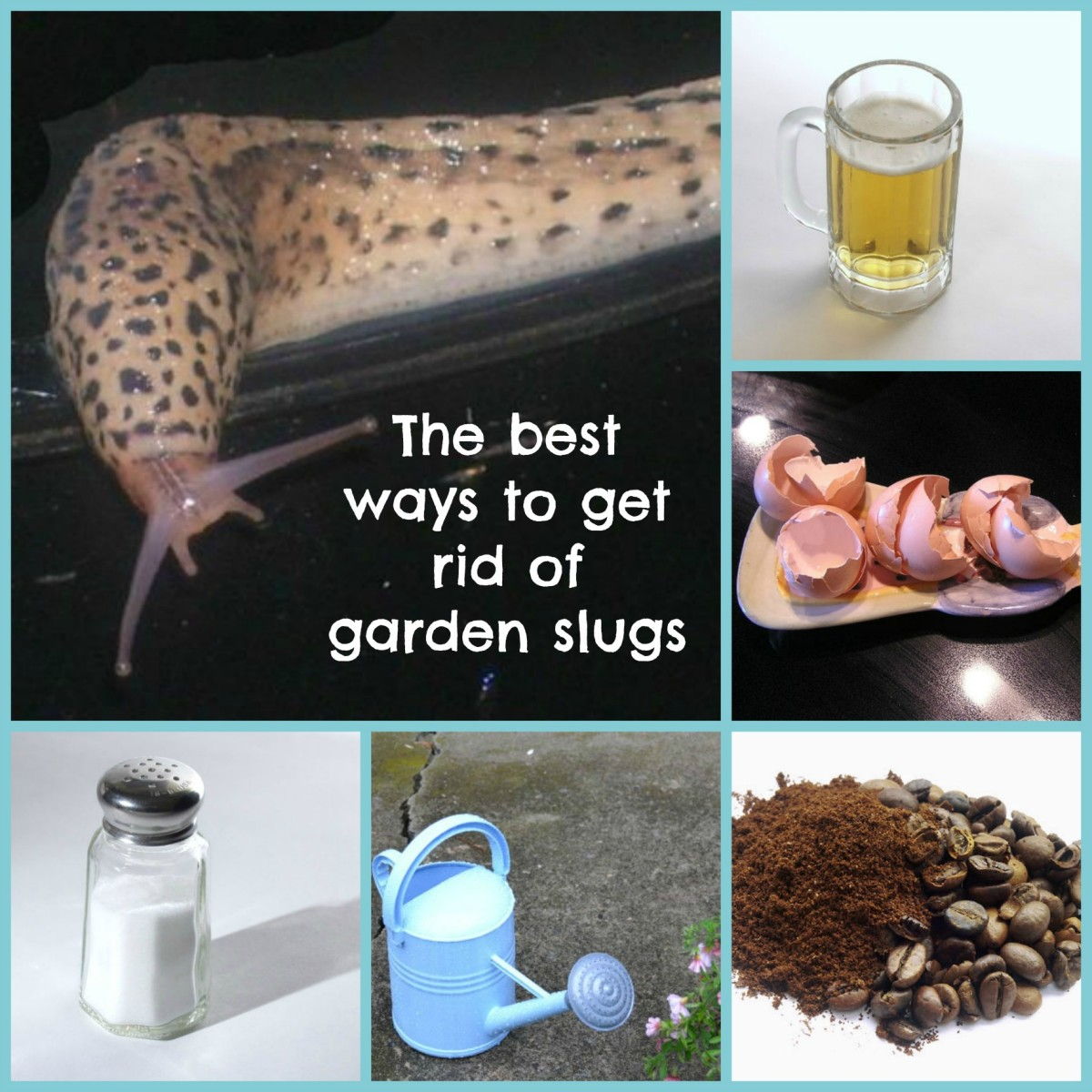 How to get rid of slugs in your garden.
