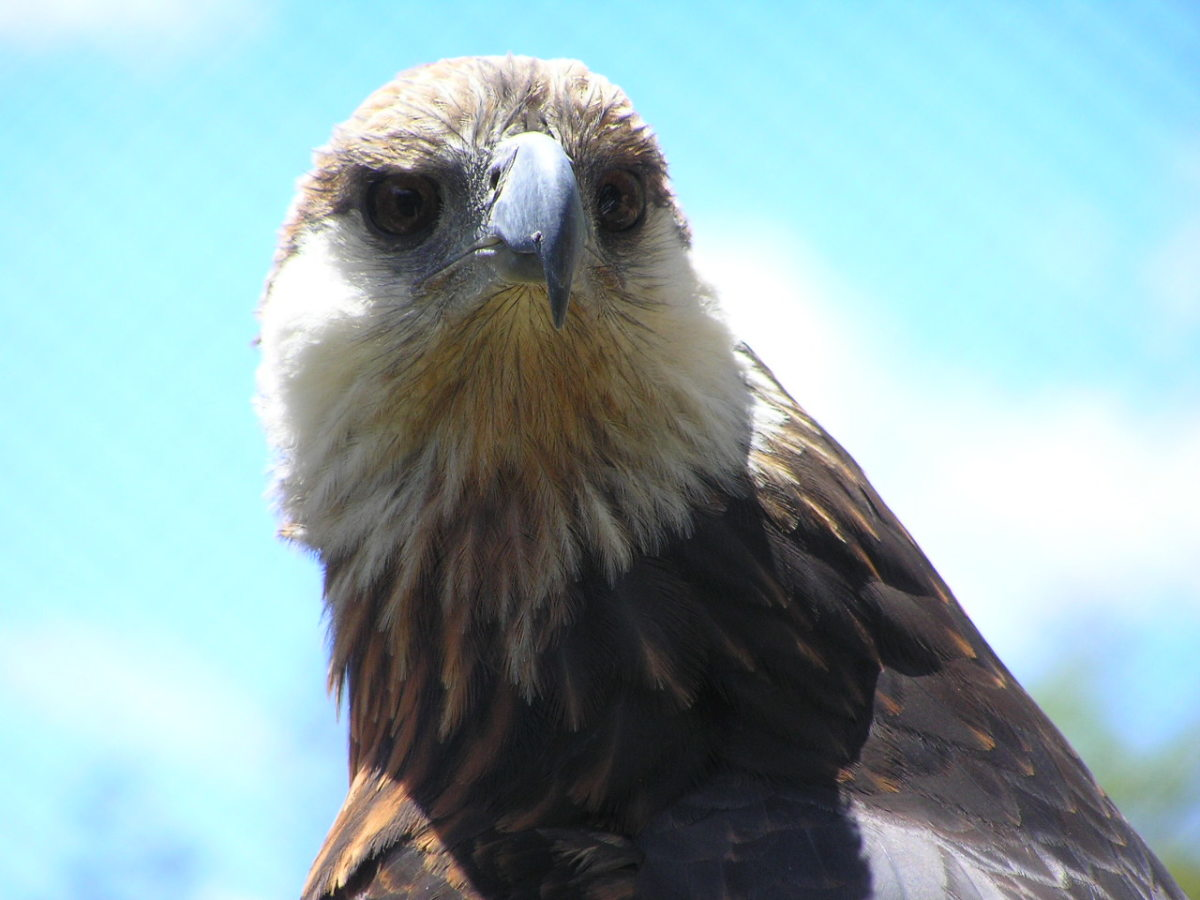 Birds of Prey - The Madagascar Fish Eagle