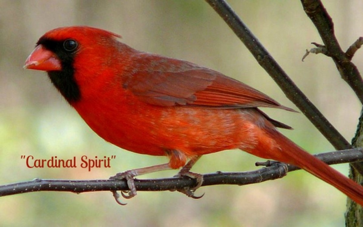 Spirit Visits From A Loved One - Cardinal Spirit Poem