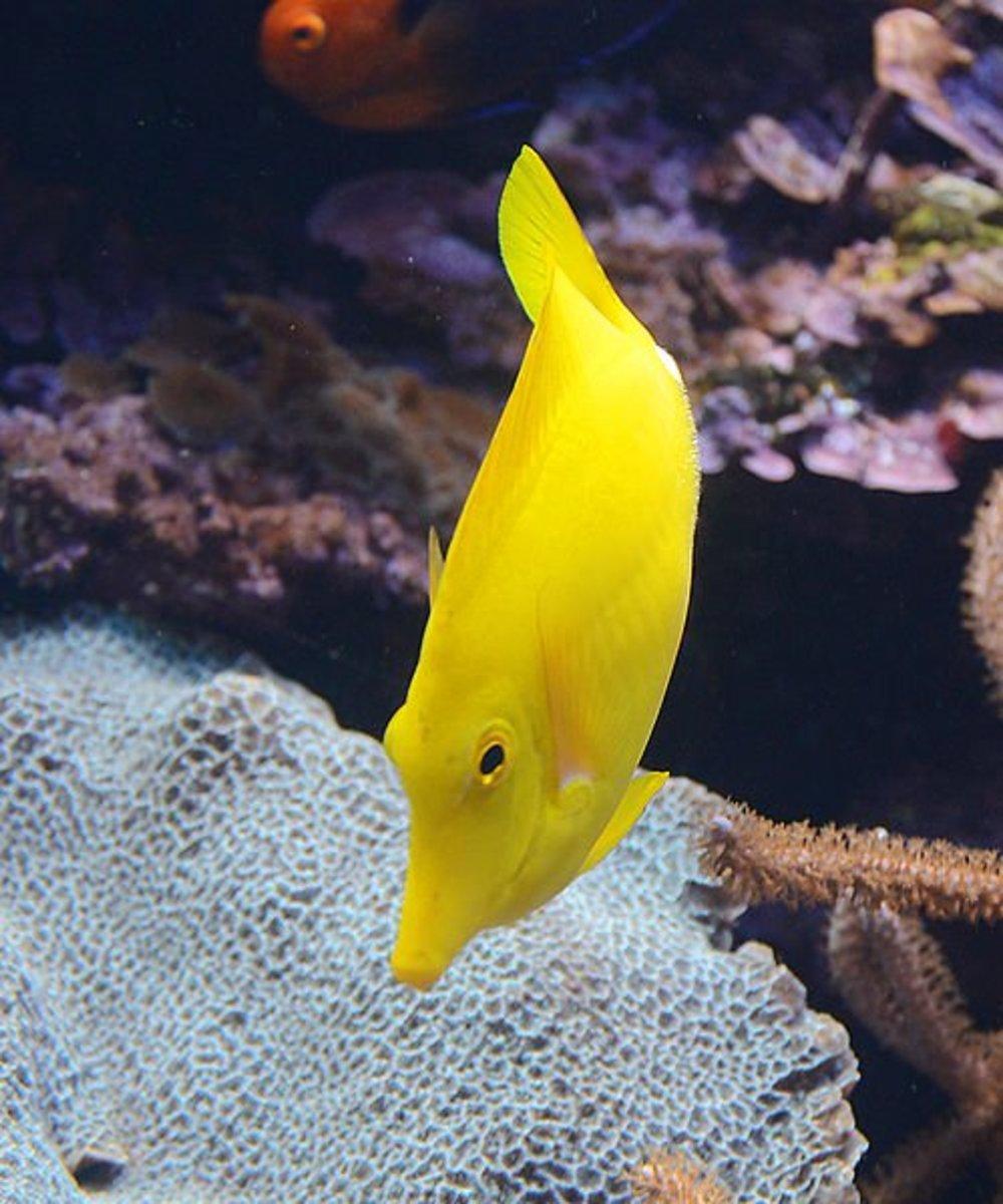 yellow-coloured-fish