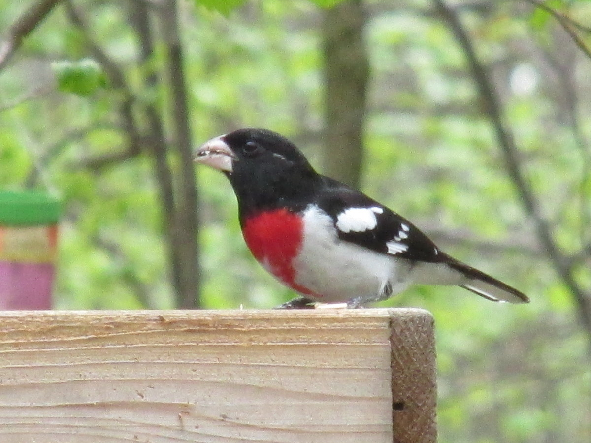 Male Rose Breasted Grosbeak enjoys my special bird seed mix that contains fruit, nuts and pumpkin seeds.