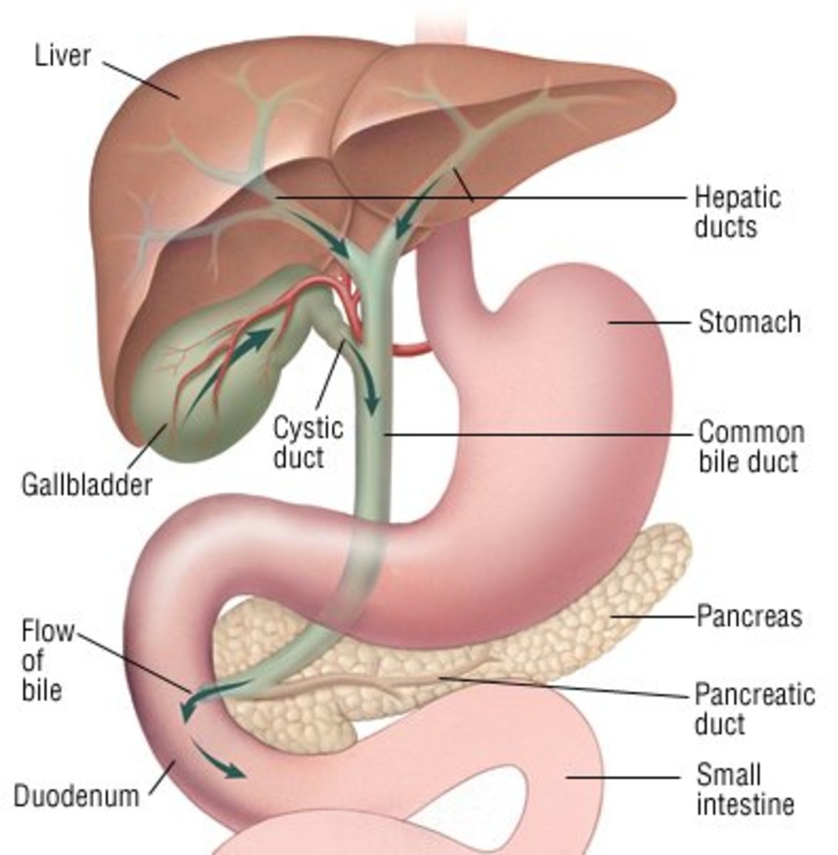 Gallbladder Disease and Gallbladder Dysfunction: Symptoms and Treatment