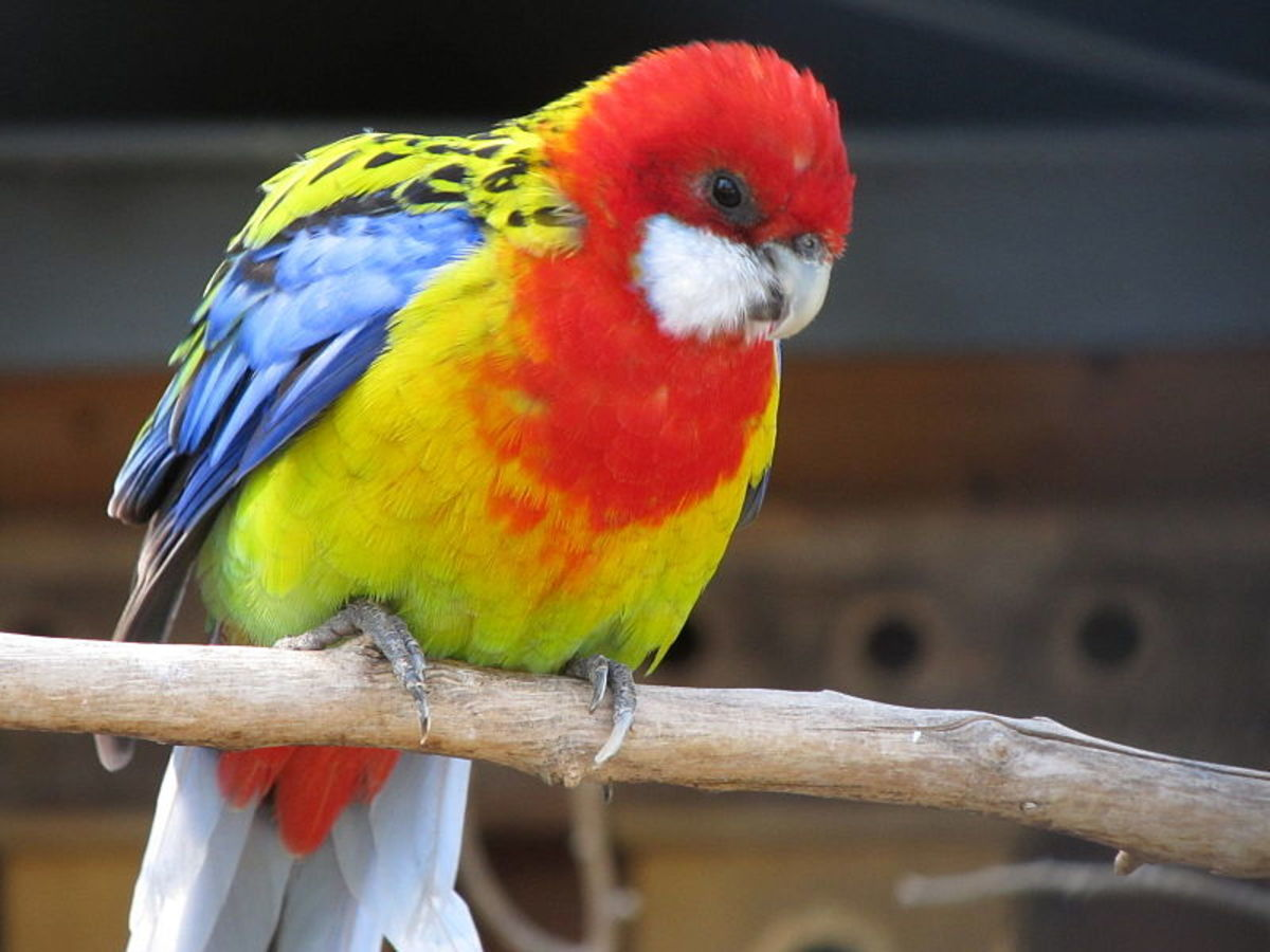 This Eastern Rosella is one of the most colourful birds you'll ever meet. Learn about more rainbow-coloured birds across the world.
