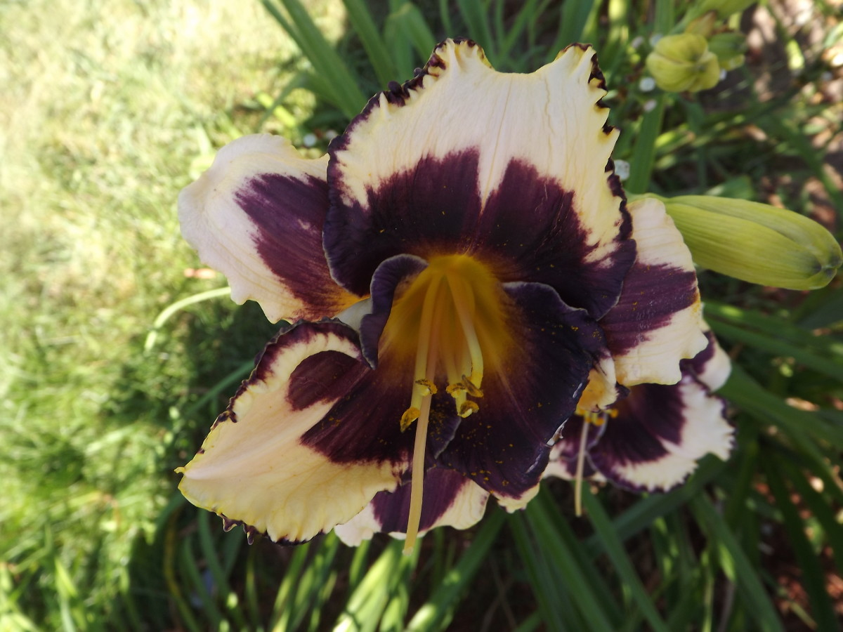 Daylilies. Planting and care
