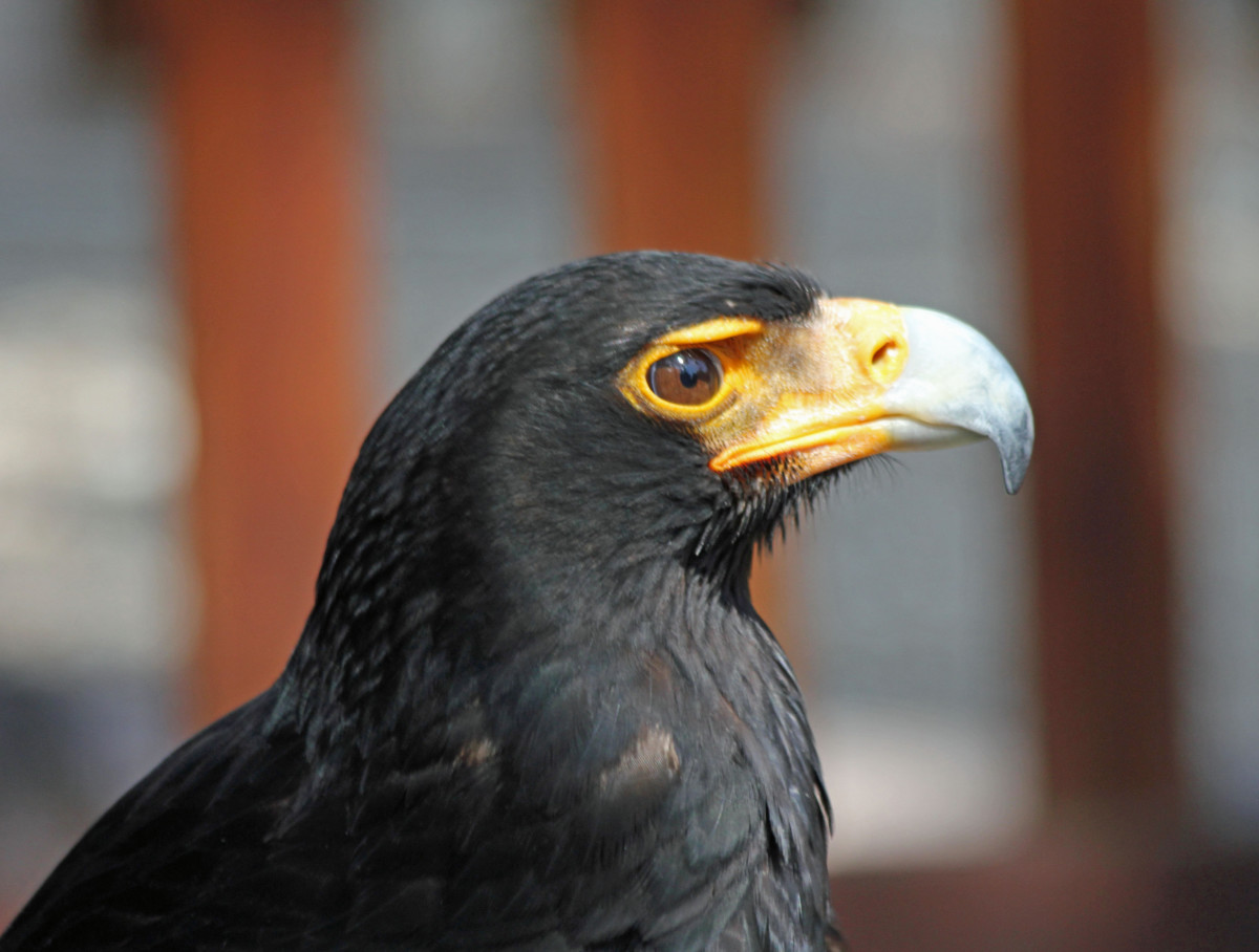 Birds of Prey: The Verreaux's Eagle