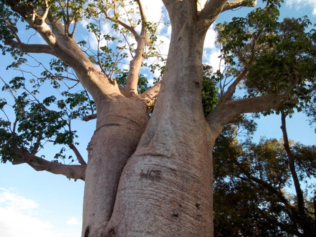 Giant Boab Trees of the Kimberley Region in Western Australia