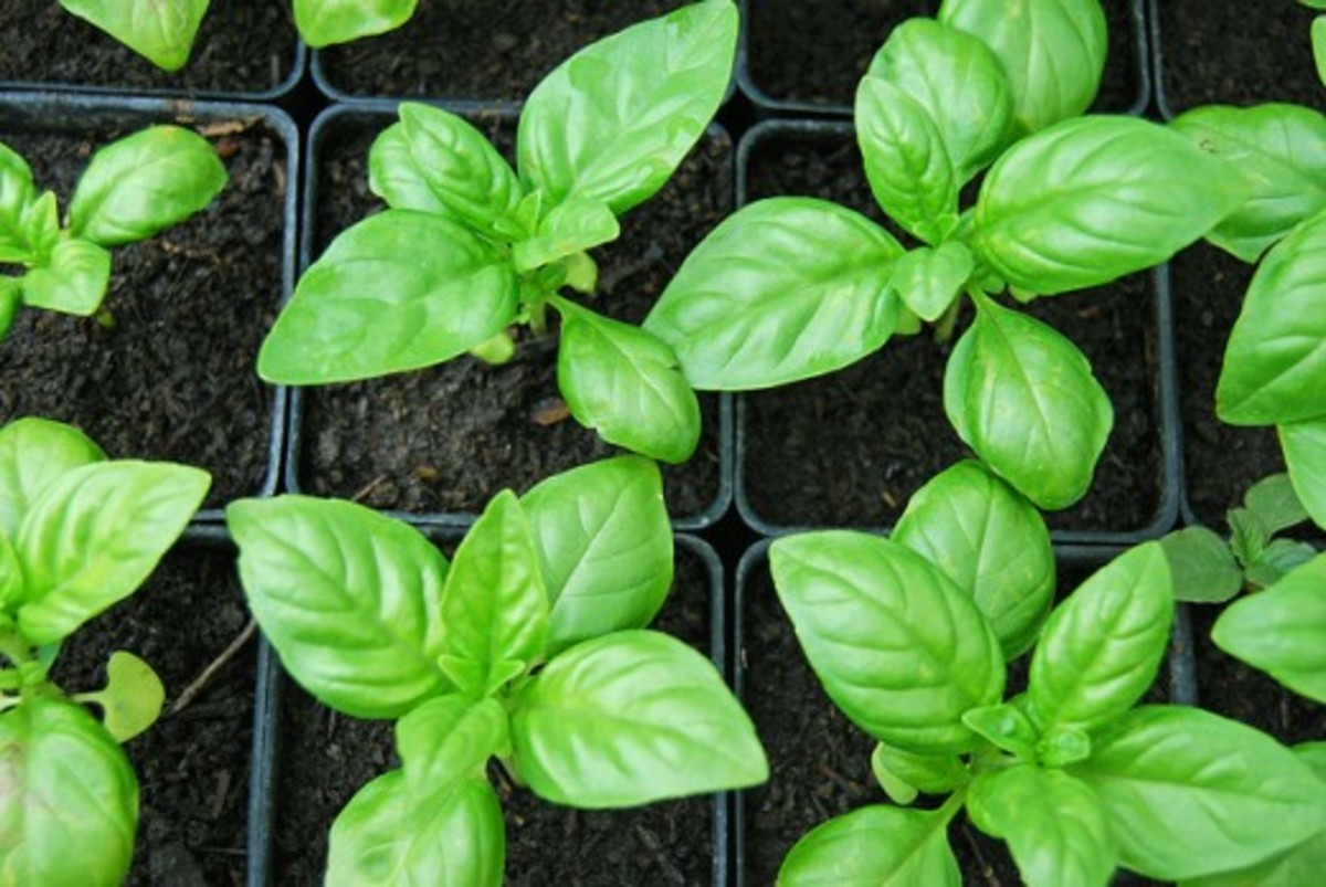 A Young Basil Plant