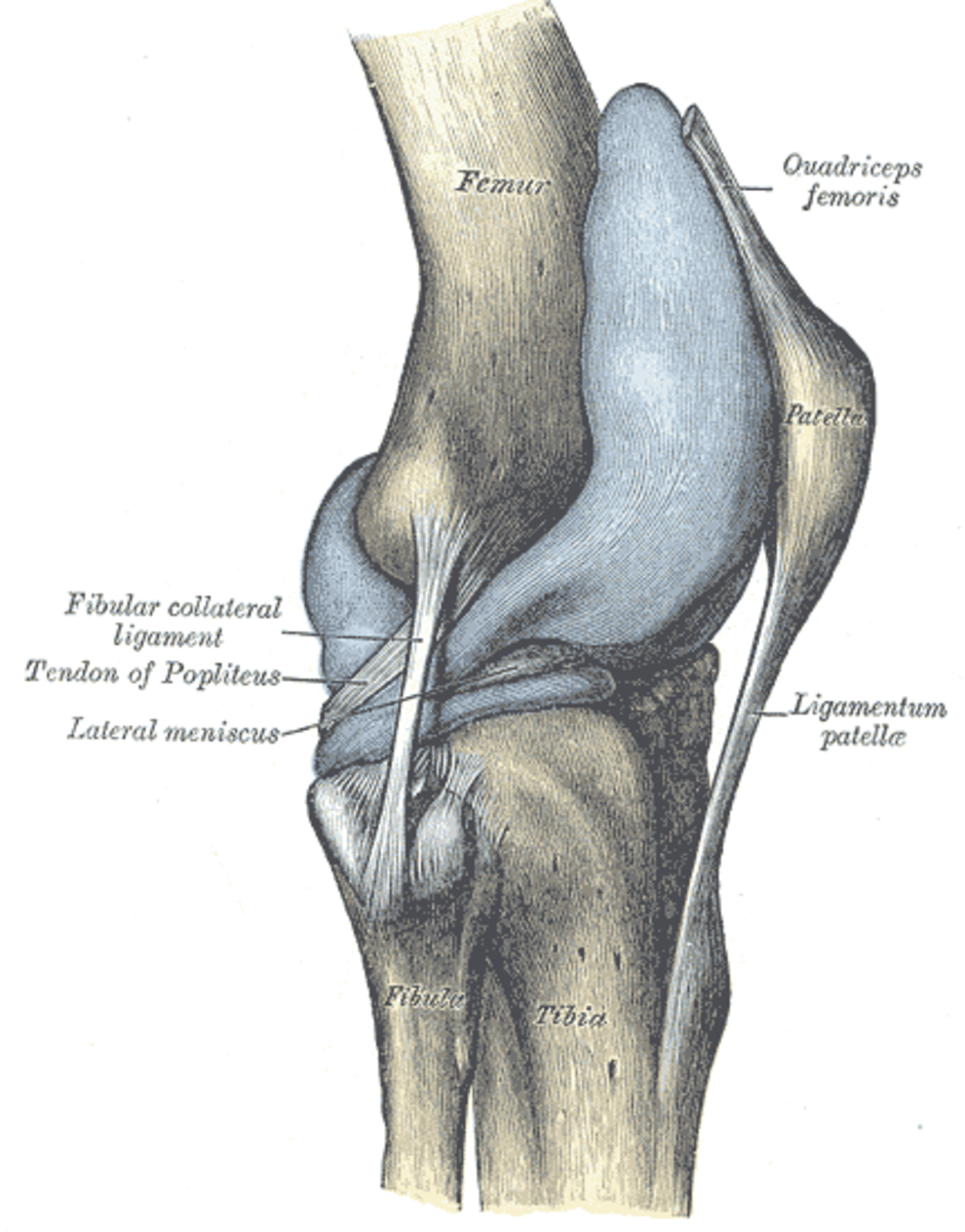 Detailed illustration of the knee joint
