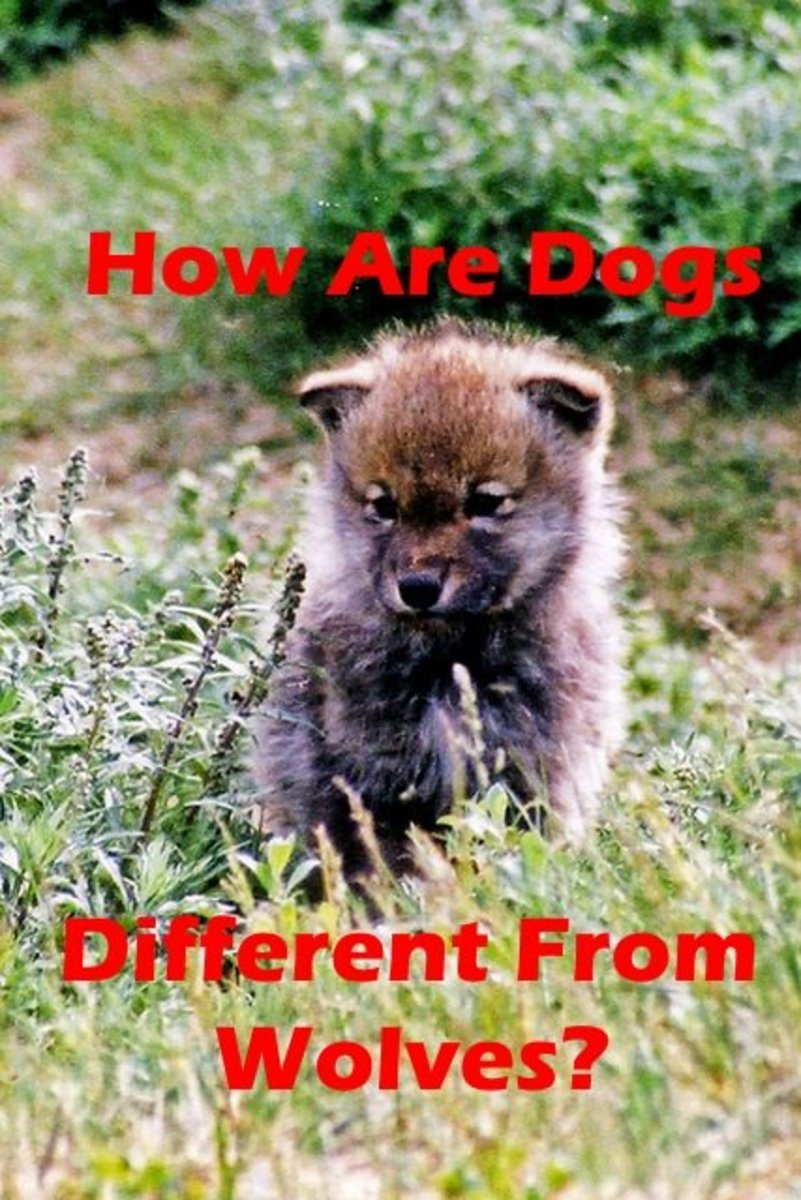 How Are Dogs Any Different Than Wolves?