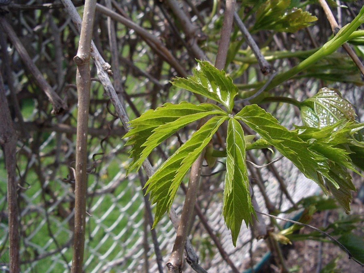 Spring Green Virginia Creeper Leaf
