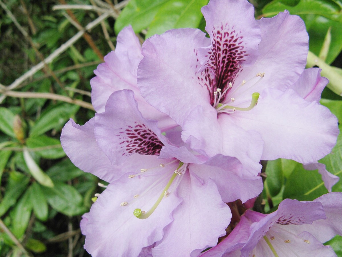 Rhododendron Photos Facts And Care Tips Dengarden