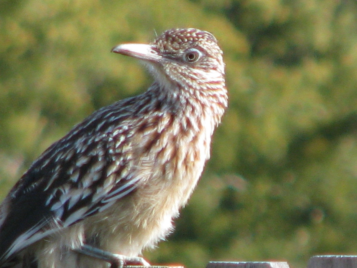 Roadrunner up close.