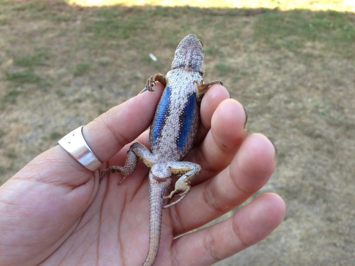 The Best Way to Catch a Blue-Belly Lizard (or Western Fence Lizard)