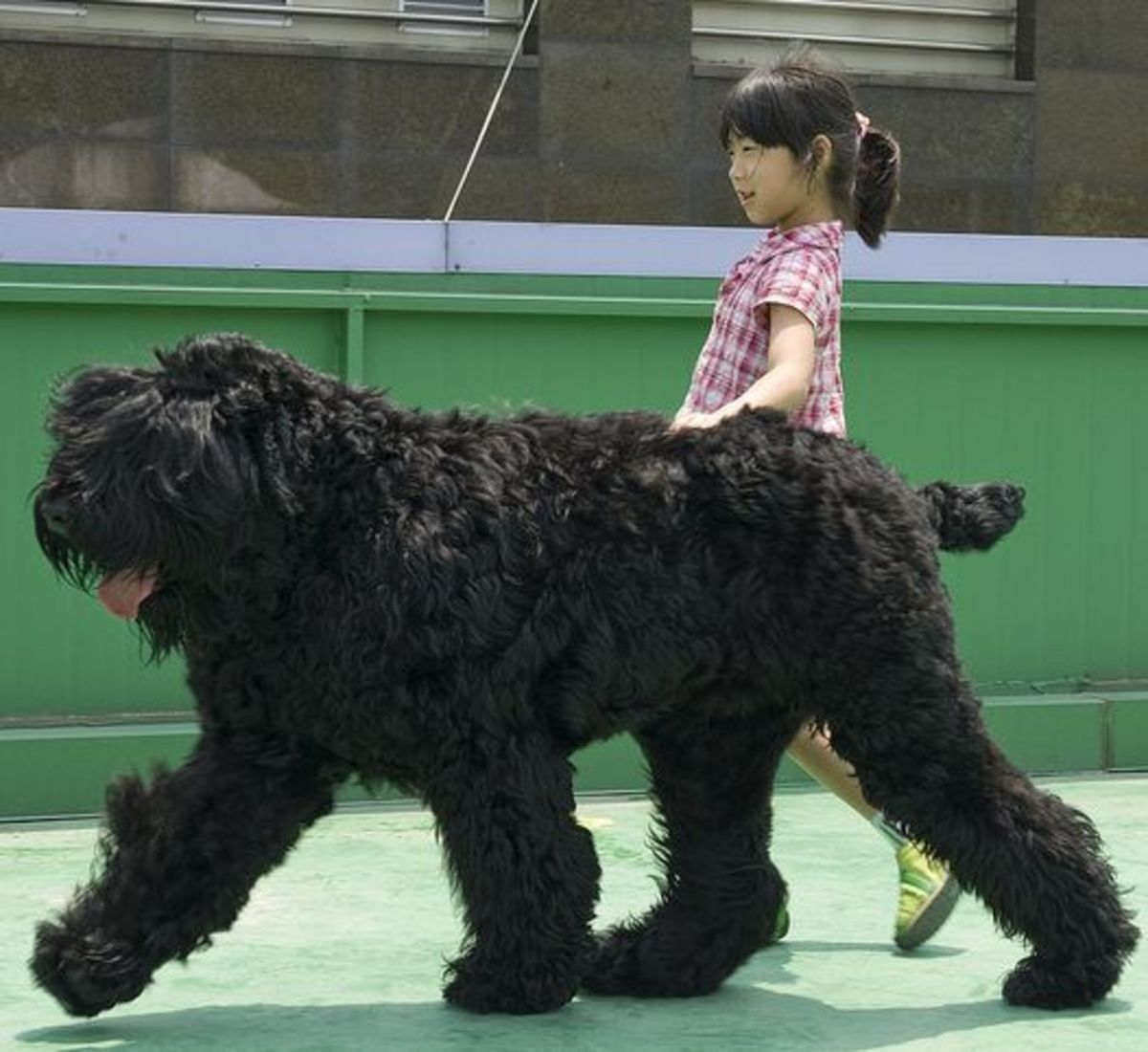 The Black Russian Terrier was developed to be tall, strong, and a good pet.