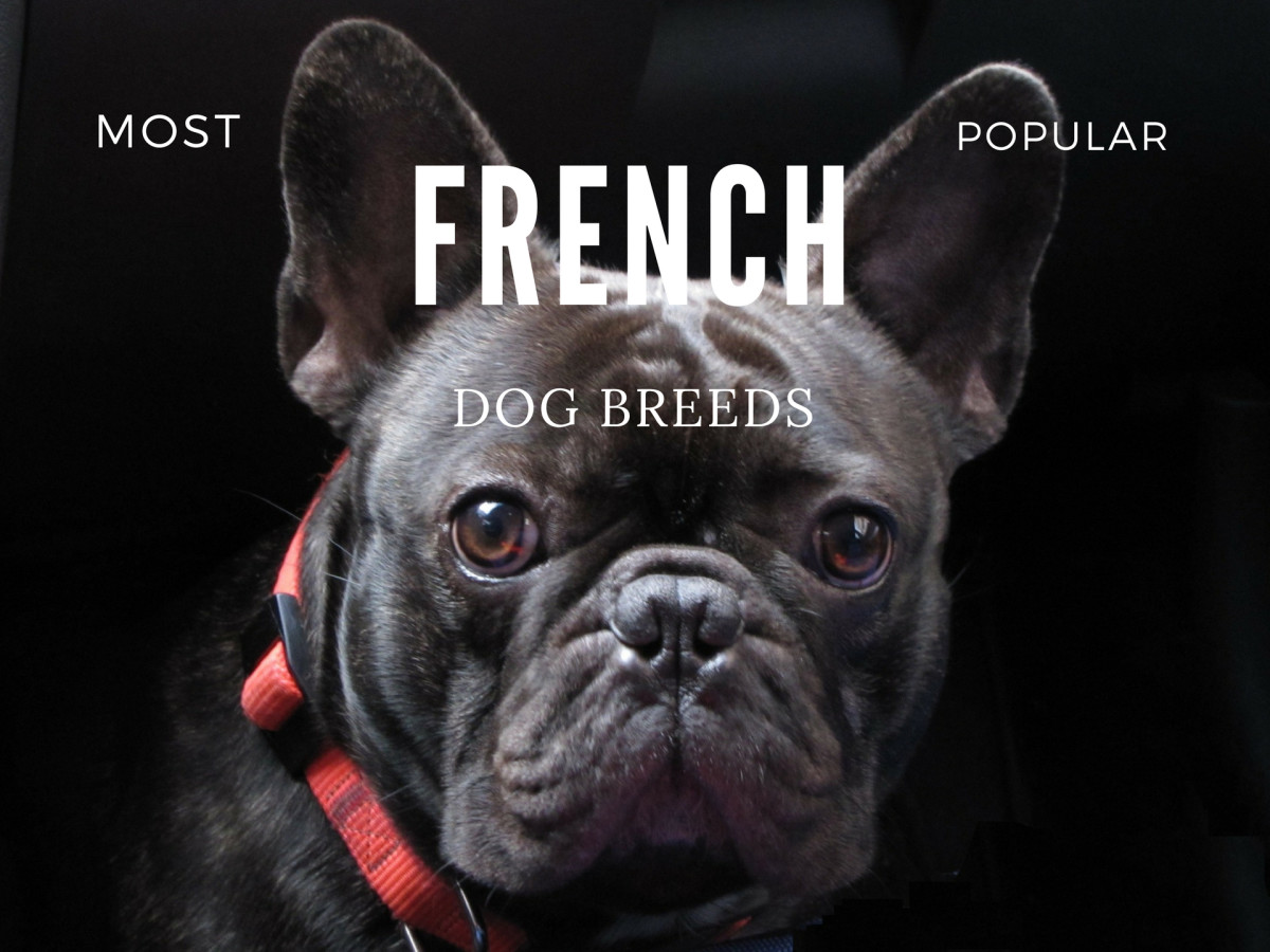 The French Bulldog and the Best Dog Breeds From France