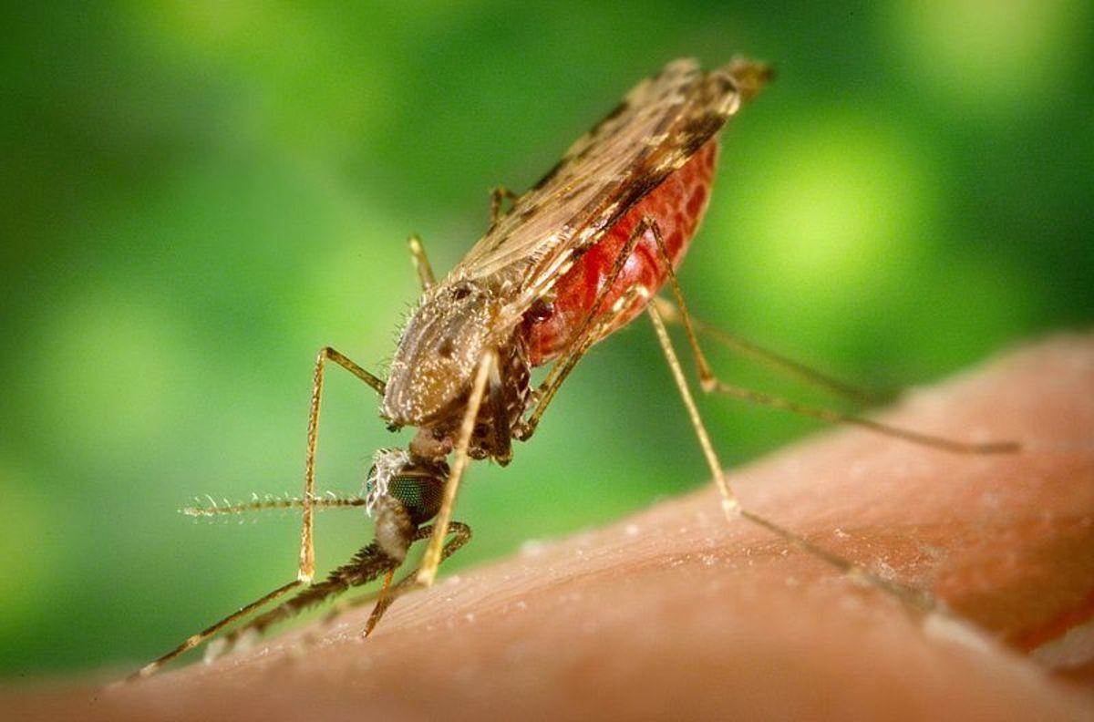 Female Anopheles albimanus mosquito feeding on a human host