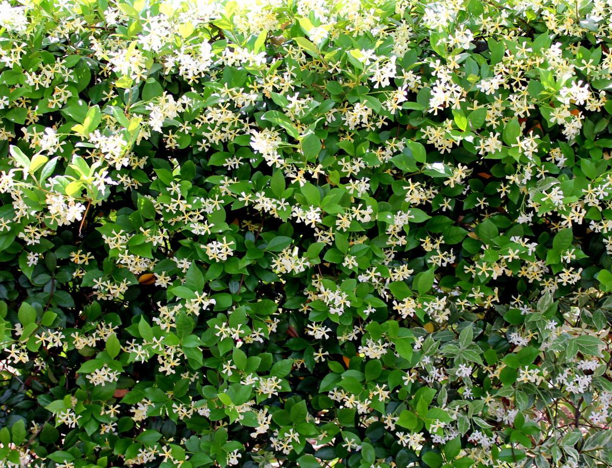 Confederate Jasmine Step By Step Instructions For Growing In A