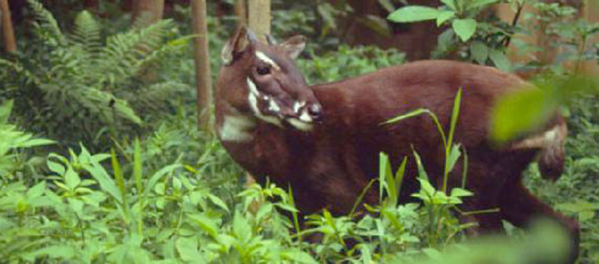 Saola - © WWF-Canon / David HULSE