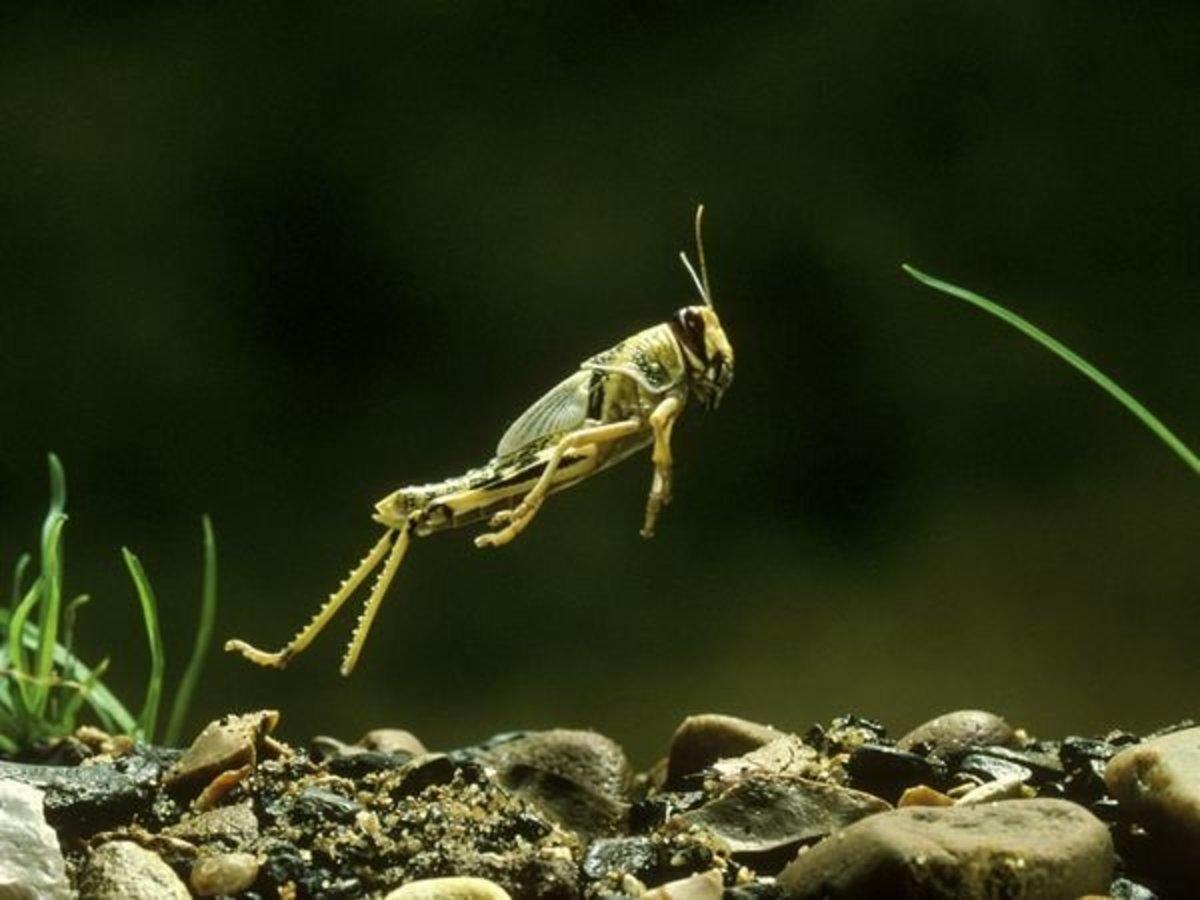 A locust in mid-jump