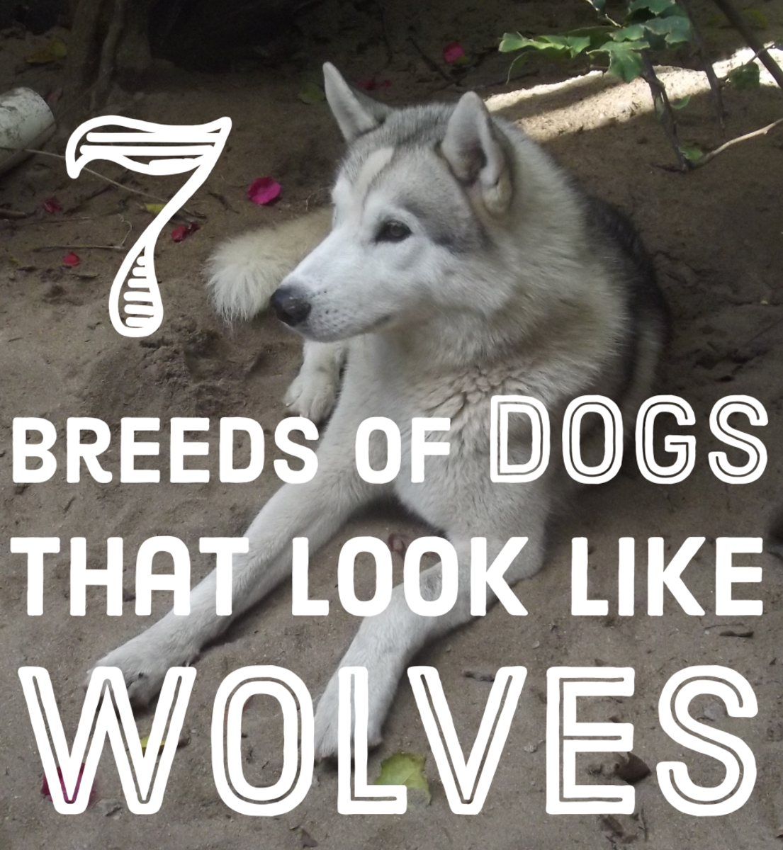An Alaskan Malamute Siberian Husky cross: like a wolf