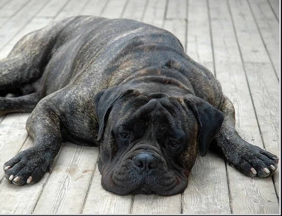 Five Large Dog Breeds That Don't Bark Much