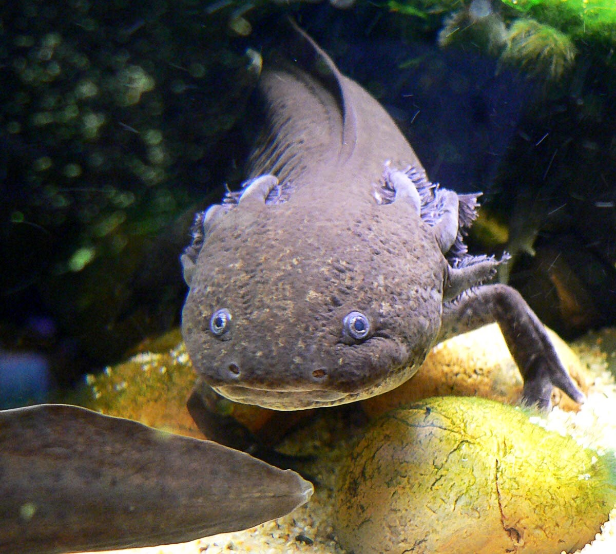 The Endangered Axolotl and Its Powers of Regeneration