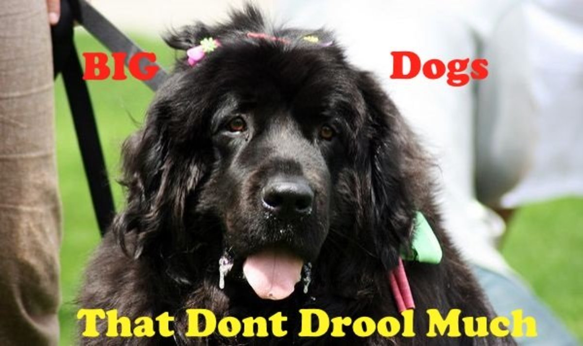Several great large dog breeds are available that do not drool much.