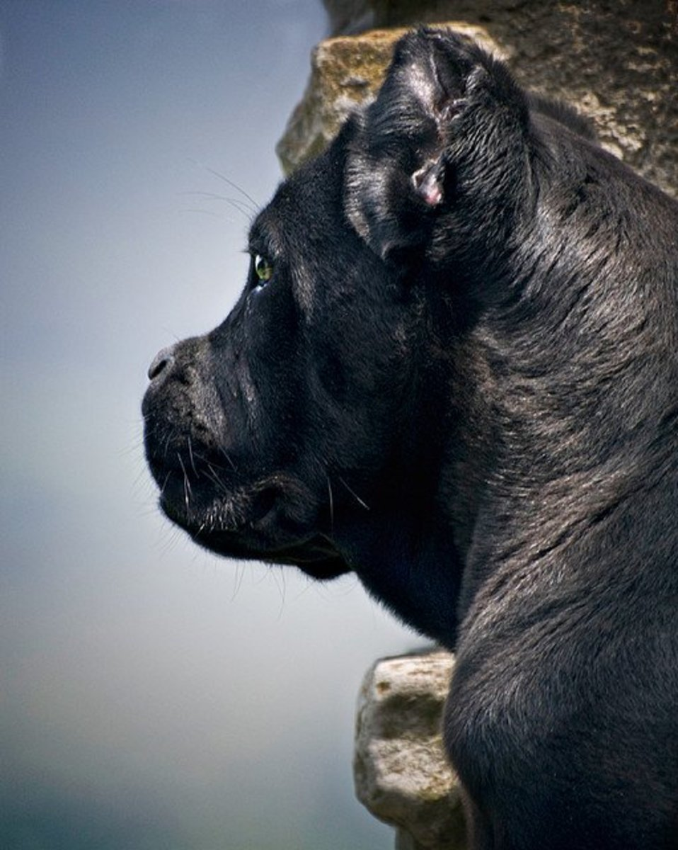 The Cane Corso, one of the best Italian dog breeds, has a short muzzle.