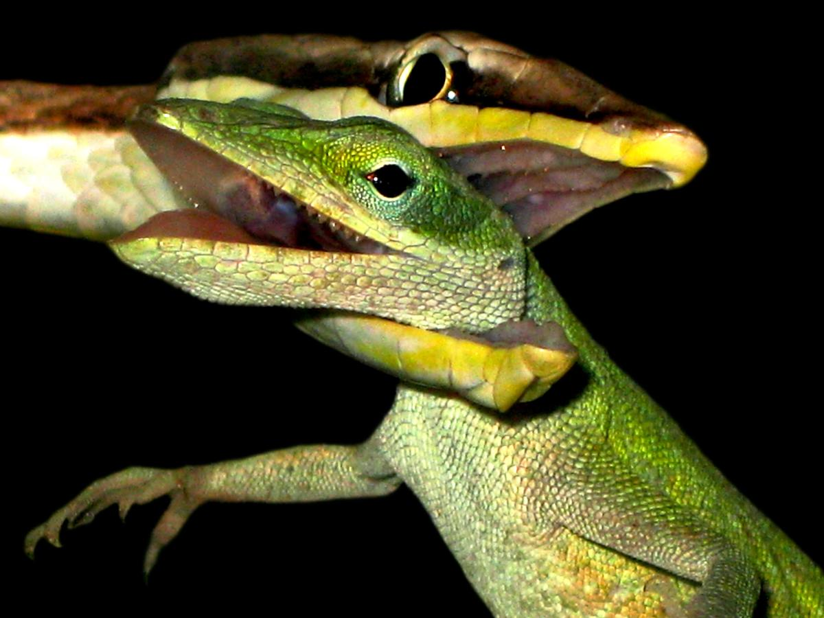Fear no more! This article will adequately prepare you, both mentally and physically, for dealing with snakebite so that you don't feel like this Green Anole: hopelessly trapped in the jaws of a Brown Vine Snake, waiting for death's embrace.