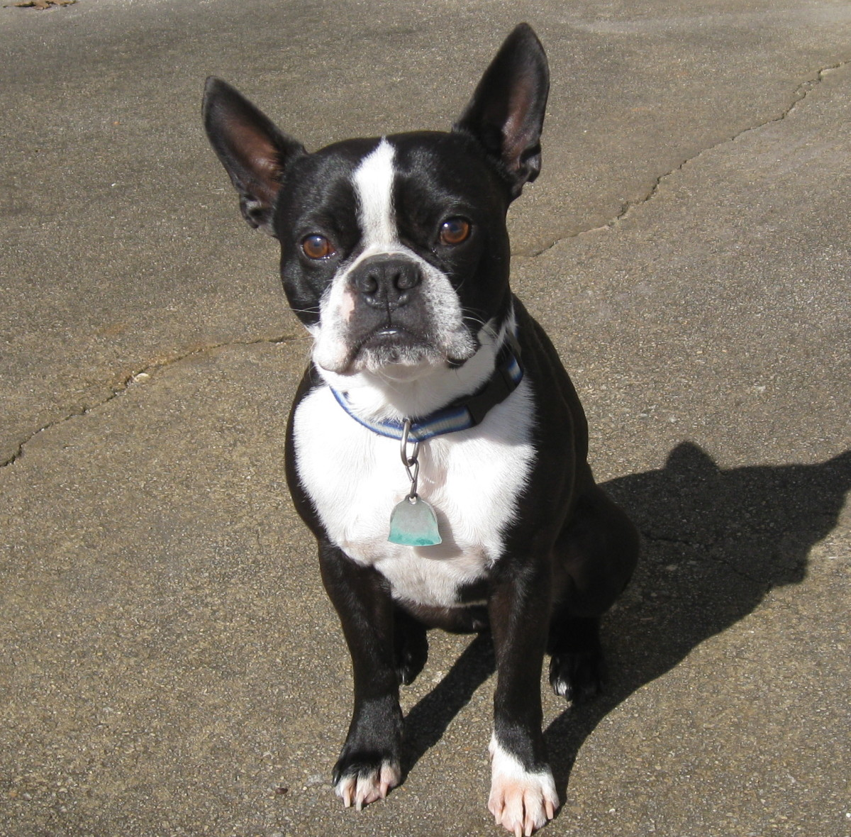 A Boston Terrier's ears should stand up naturally without being cropped.