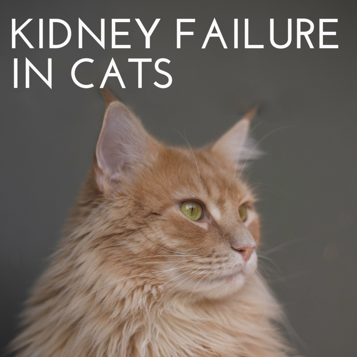 Taking Care of a Cat With Kidney Failure