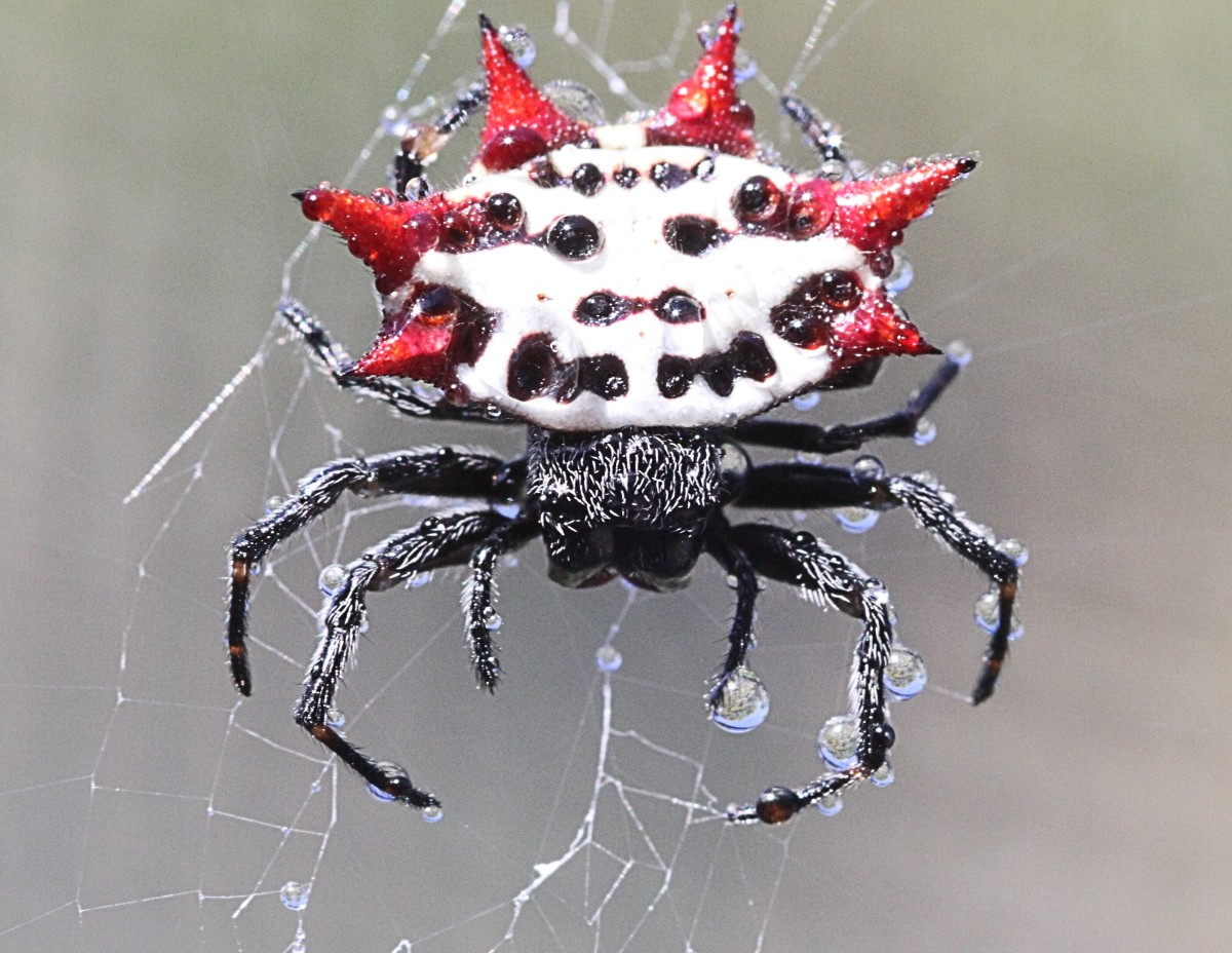 The spiny-backed orb weaver spider