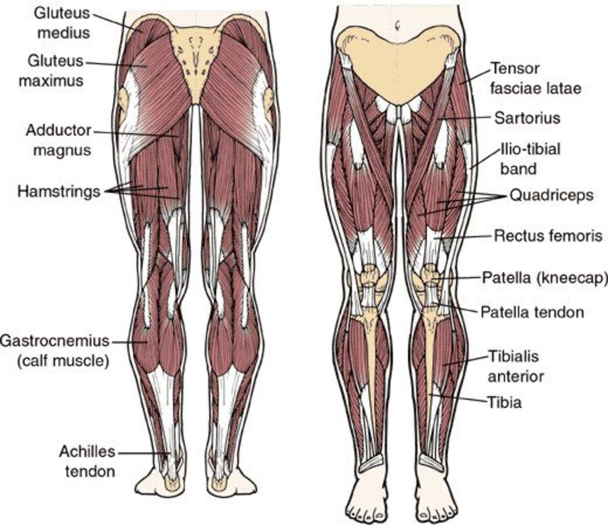 Anatomy of the legs