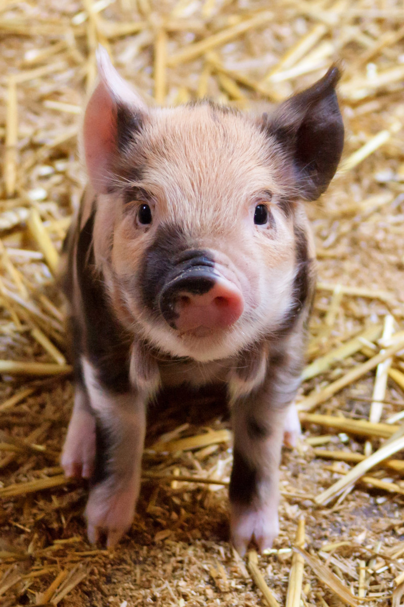 People born during the pig year are cheerful, fun-loving people who love to chat.