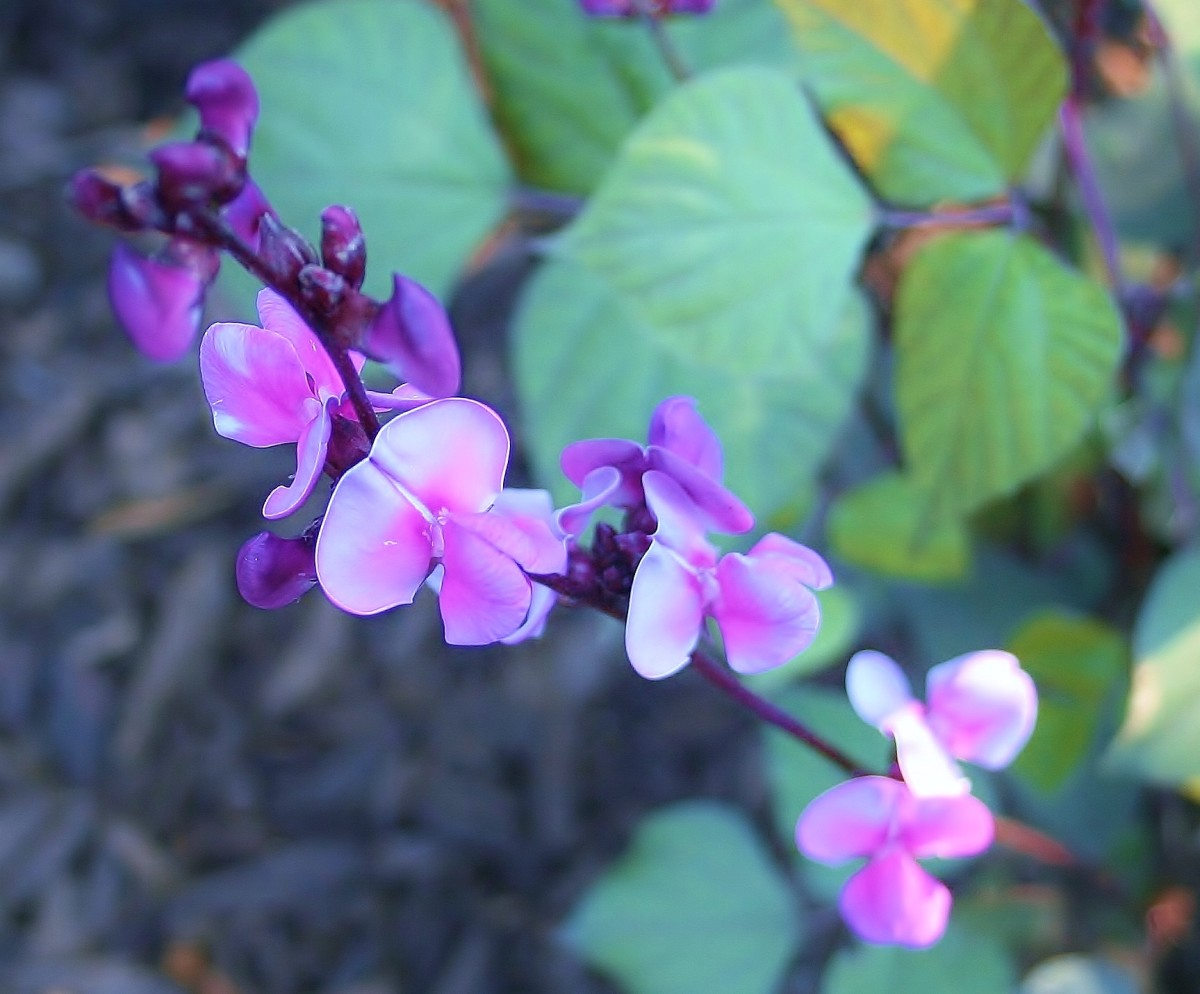 Hyacinth bean vines produce long bracts of shell-like purple flowers.
