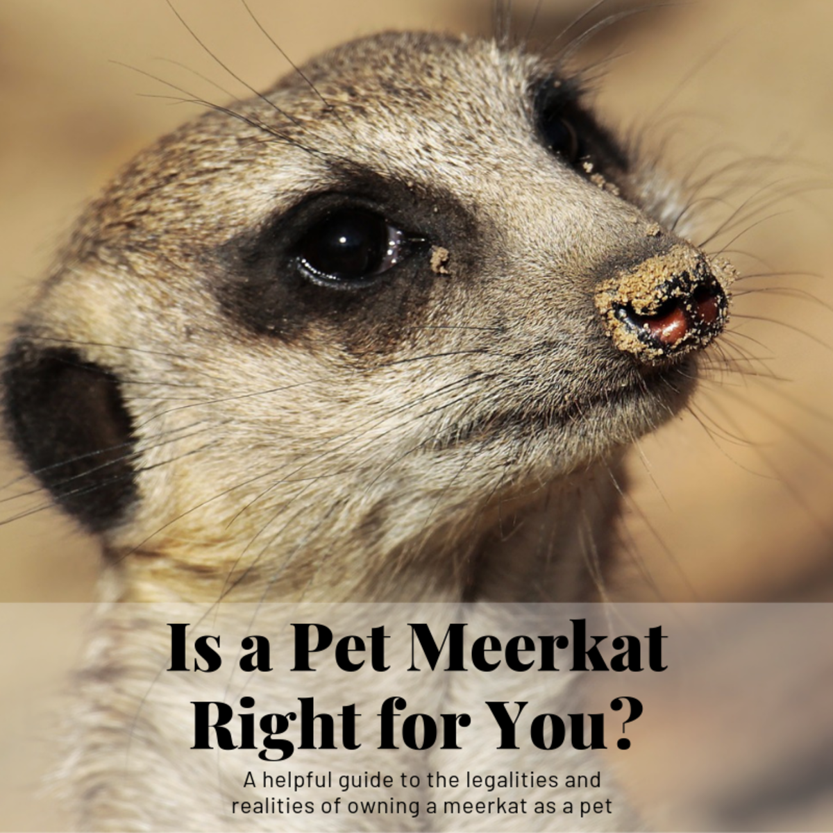 This guide will break down what it's like to own a meerkat as a pet and illustrate why that may not be such a good idea.