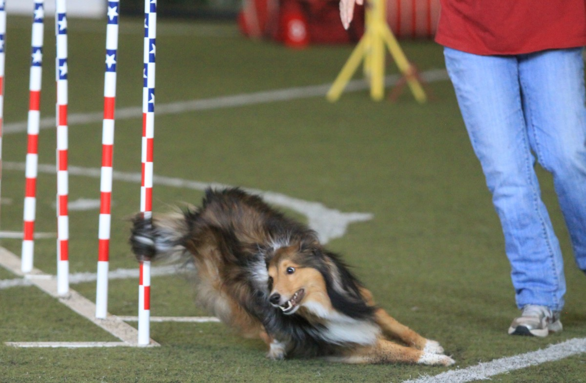 Here, the author's Sheltie uses his tail to help with a turn. Notice the tail hairs still whipped around the last weave  pole as he begins to pull his tail around to help him balance for the tight rear cross.