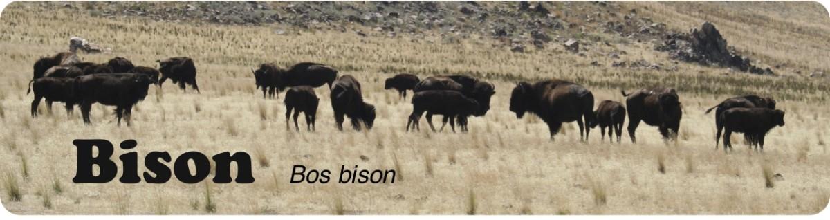 American Bison of Utah